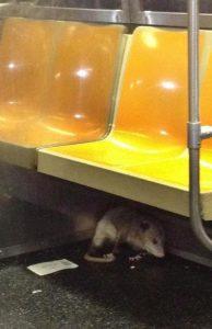Possum Takes the Downtown Train